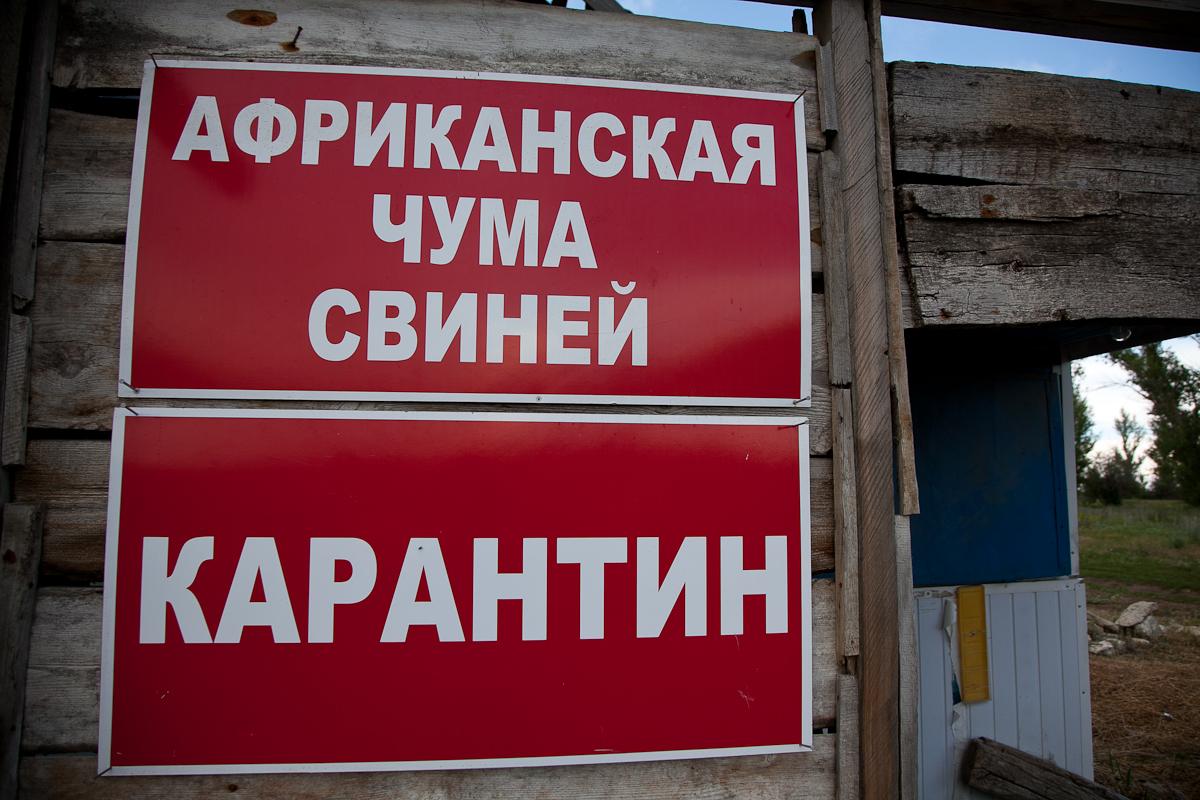 Чума свиней найдена накрупнейшем в РФ волгоградском предприятии