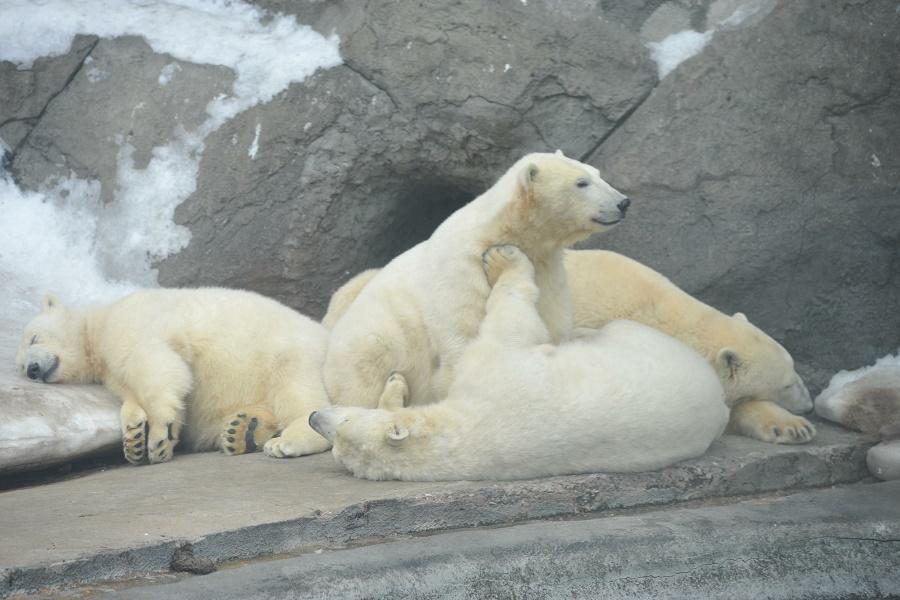Десяток белых медведей окружили полярную станцию вАрктике