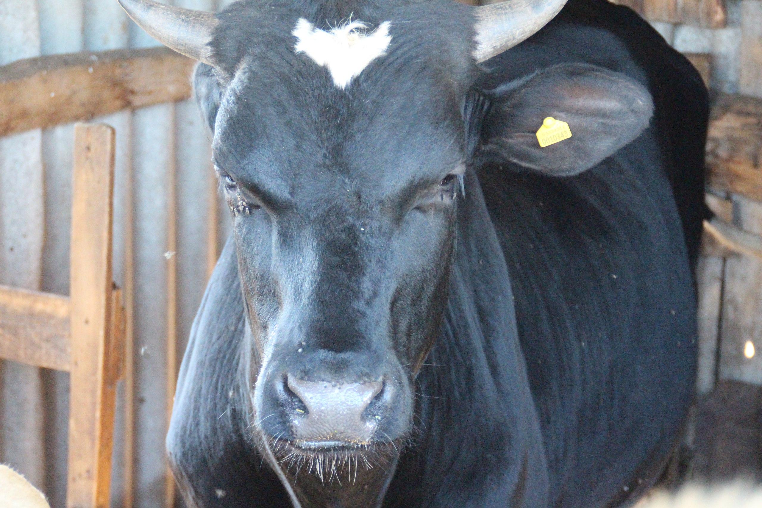Под Волгоградом сбитая Опель корова отудара отлетела напогонщицу скота