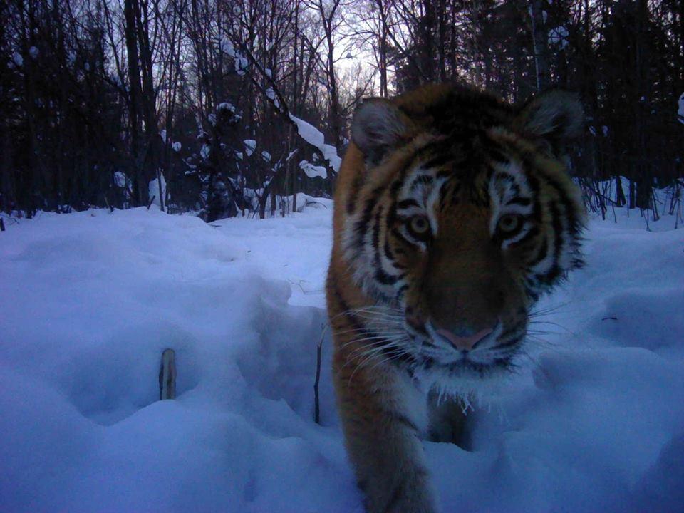 тиграмурский