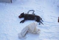 Бойцовая собака загрызла двухмесячную девочку в коляске
