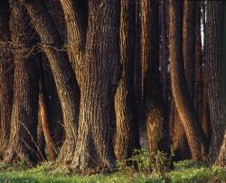 Житель Краснослободска спилил вековые дубы на дрова