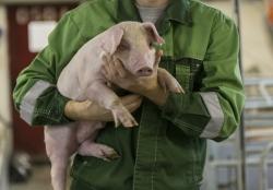 Ученые создали гибрид человека и свиньи