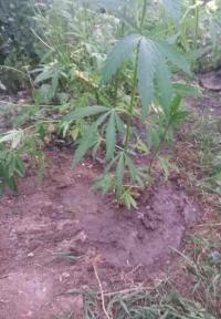 Житель Краснооктябрьского района выращивал и продавал cannabis