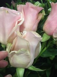 Простившись с праздником, разоряющим мужчин на цветах, флористы раскрыли причины высокой стоимости «восьмимартовских» букетов и рассказали как нужно было выбирать цветы, чтобы купить свежие, и какие цветы стоит покупать, а какие — нет.  Как стало известно интернет-газете «Кривое зеркало», флорист – профессия, объединяющая в себе черты инженера, строителя, художника, дизайнера, колориста, немного скульптора, грузчика, монтера, иногда даже электрика и, само собой, продавца. Флористам приходится использовать не только знания ботаники, навыки ухода за срезанными цветами и их сохранения – но и навыки других профессий, чтобы освежить подход к составлению букетов.  При выборе цветов стоит предпочесть естественные цвета и формы. Ни блестки, ни краска, как и упаковка, фольга, вощеная бумага и прочая искусственная дребедень не делают букет красивыми, – рассказывает профессиональный флорист Алена Ермакова, - Если без упаковки он непрезентабелен - значит это не самый лучший букет.  Вопрос стоимости букета в праздники стал актуальным, когда стоимость нескольких роз стала достигать цены подержанной иномарки. На стоимость товара — цветов или чего угодно, влияет их закупочная стоимость, выплаты налогов, аренда, найм флористов и многие-многие мелочи. В праздники цветы дорожают еще в закупке, поэтому магазины и салоны вынуждены тоже поднимать цену. А в обычное время цветы в свой сезон цветения напротив, дешевеют, - рассказывает Ермакова.  Профессиональный флорист даже порекомендовала самый простенький букет, которым можно частенько баловать своих дам.  Гипсофила делится на веточки, веточки чистятся снизу, оставляя верхушку, собираются вместе по спирали или параллельно. Получается простой и миленький букетик.  Для тех, кто хочет разобраться в процессе изготовления букетов, специалисты рекомендуют почитать специализированные форумы или пройти курсы. Где вас научат, что листву цветов необходимо чистить на 13 снизу как минимум, а лучше больше, иначе при контакте с водой цветок будет гнит