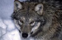 В Новой Москве на улице поймали волка в ошейнике