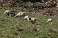 Два жителя Волгоградской области украли и убили 12 овец